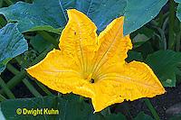 HS24-557z  Pumpkin male flower
