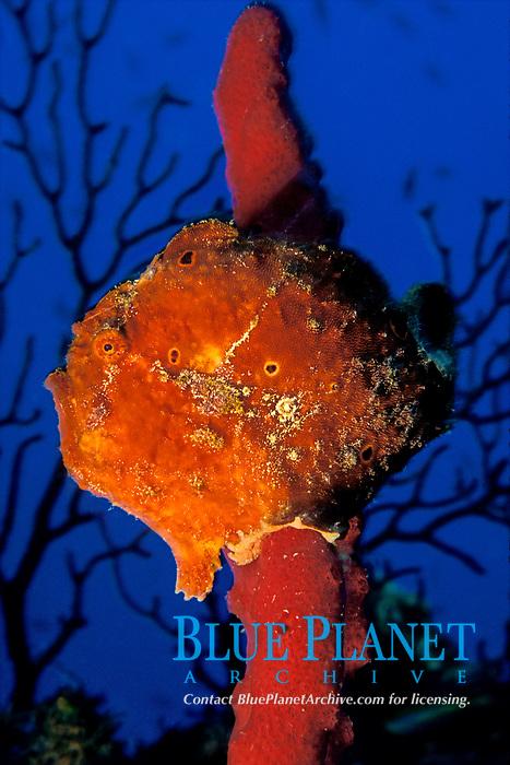 longlure frogfish or anglerfish, Antennarius multiocellatus, on red rope sponge, Commonwealth of Dominica (Caribbean Sea) , Atlantic