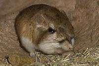 1114-0803  Merriam's Kangaroo Rat Underground in Burrow, Dipodomys merriami © David Kuhn/Dwight Kuhn Photography