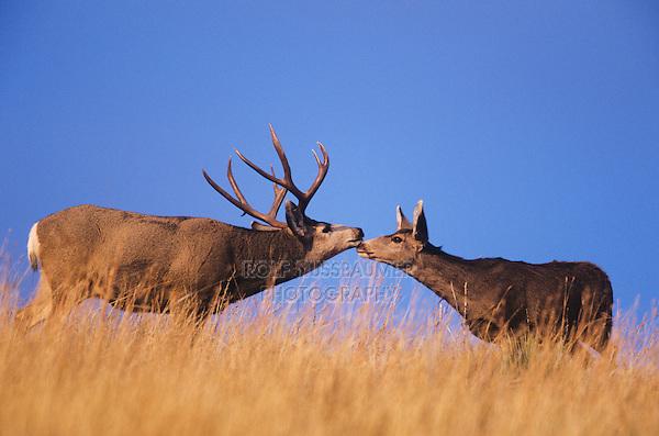 Mule Deer, Black-tailed Deer (Odocoileus hemionus), buck and doe kissing, Colorado, USA