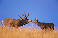 Mule Deer, Black-tailed Deer (Odocoileus hemionus), buck and doe kissing, Colorado, USA