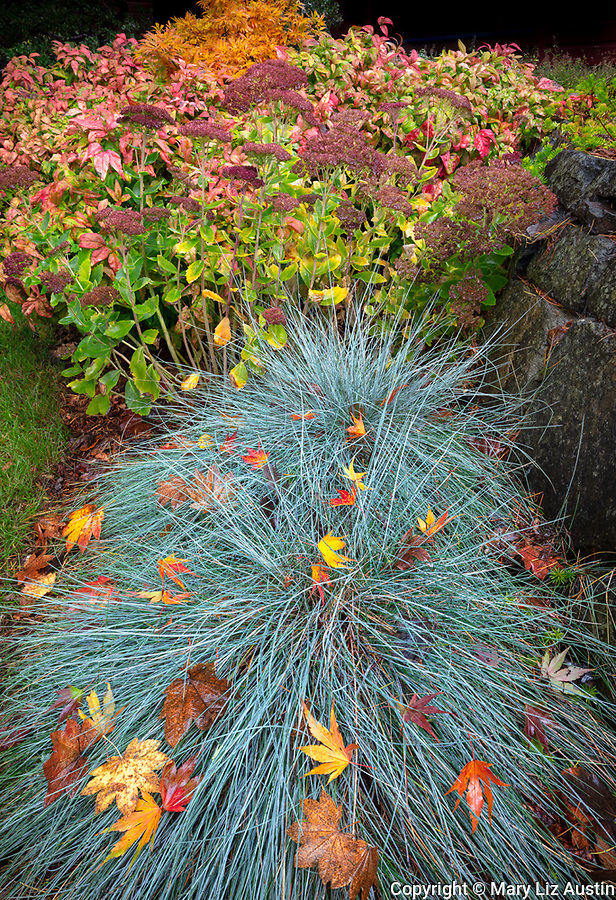 Vashon-Maury Island, WA: Autumn leaves on blue fescue with sedum 'Autumn Joy' and Nandina shrubs in the background