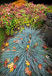 Vashon-Maury Island, WA: Autumn leaves on blue fescue with sedum 'Autumn Joy' and Nandina shrubs in the background