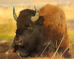 Bison at Rest, Madison Junction, Yellowstone National Park, Wyoming
