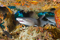 Two Whitetip Reef Sharks, Triaenodon obesus, resting under an overhang, Komodo National Park, Indonesia, Flores Sea.
