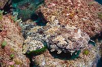ornate wobbegong, Orectolobus ornatus, Cook Island, Tweed Heads, New South Wales, Australia, South Pacific Ocean