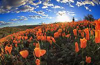 Poppies, poppies and more poppies - Arizona