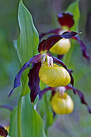 Frauenschuh, Gelber Frauenschuh, Gelb-Frauenschuh, Europäischer Frauenschuh, Marienfrauenschuh, Marien-Frauenschuh, Cypripedium calceolus, Lady's-slipper orchid, Yellow ladys slipper, Ladys slipper orchid