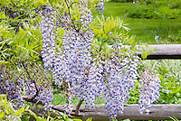 Blue Moon Wisteria macrostachys in bloom on fence, fragrant vine in spring, reblooms