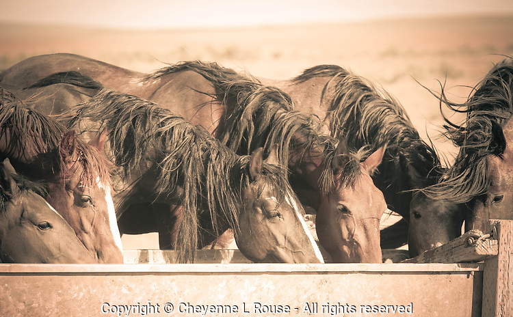 Happy Hour - Mustangs - Utah - Wild Horses