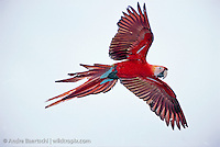 Scarlet Macaw (Ara macao) flying high above the rainforest canopy in the Peruvian Amazon, lowland tropical rainforest, Manu National Park, Madre de Dios, Peru.