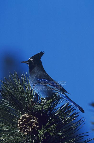 Steller's Jay (Cyanocitta stelleri), adfult on pine tree, Rocky Mountain National Park, Colorado, USA