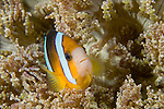 Anilao, Philippines; an adult Clark's Anemonefish (Amphiprion clarkii) perched on it's Beaded Sea Anemone (Heteractis aurora)