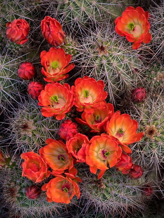 Claret cup hedgehog cactus in bloom