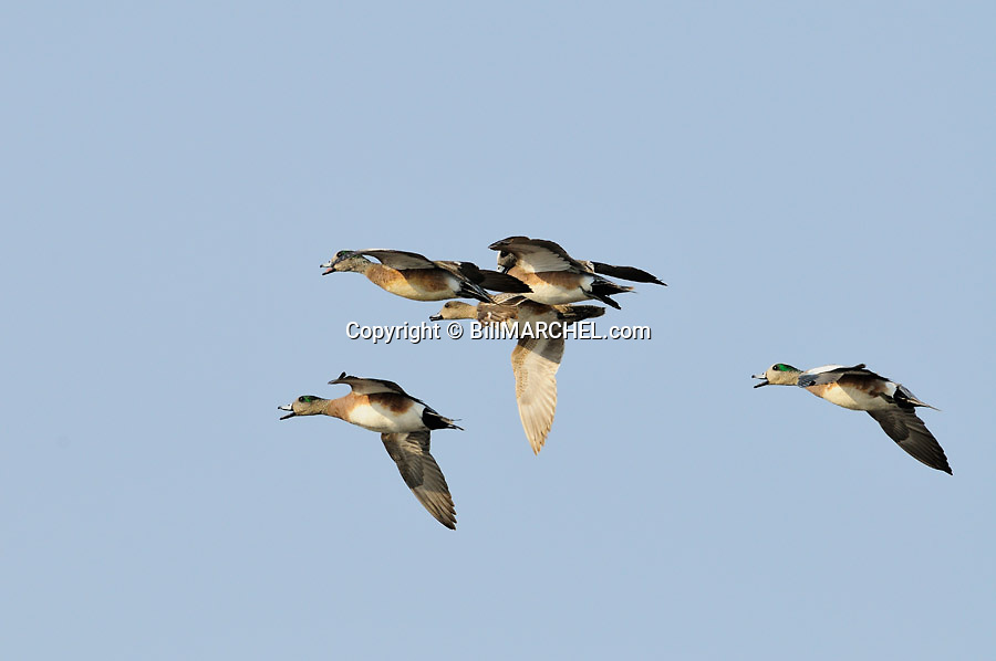 00318-007.03 American Wigeon flock of in flight.  Fly, action, hunt, courtship.