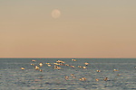 Red-necked Avocet (Recurvirostra novaehollandiae) in Lake Eyre from the shores of Halligan Bay with the full moon rising