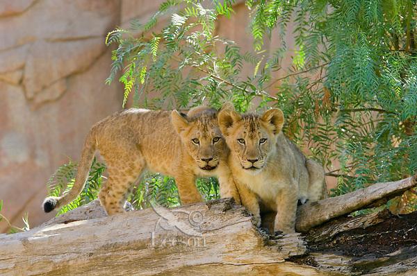 African Lion (Panthera leo) cubs.