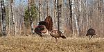 Tom turkey strutting for some hens.