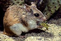 MU32-017z  Northern Grasshopper Mouse - eating grasshopper - Onychomys leucogaster