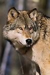 Grey Wolf, Minnesota
