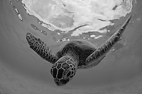 A snorkeler's view of a sea turtle (or honu) diving further into the waters off of O'ahu's western shore.