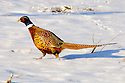 00890-038.09 Ring-necked Pheasant rooster is in a snow covered corn stubble field during winter.  Hunt, cold, farm, feed, food, survive.