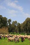 Israel, Sharon region, goats and sheep in Park Hasharon
