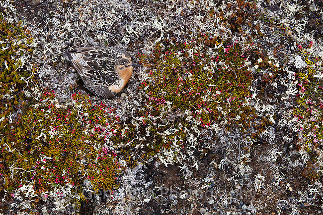 Camouflaged Red Knot (Calidris canutus rogersi) brooding chicks on the nest just after they have hatched.  Chukotka, Russia. June.