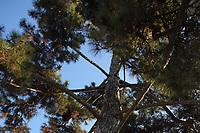 Jardin des Plantes: A view of the top of a pine -Pinus nigra- that dates back to 1774, and that is therefore a historical tree. This is an enlargement of a part of the original photo (Paris, 2010).<br /> <br /> Jardin des Plantes: Una vista della cima di un pino che risale al 1775 e che è quindi un albero storico. Questo è un ingrandimento della foto originale (Parigi, 2010).