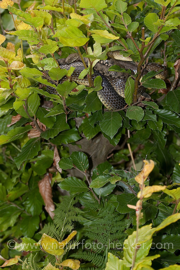 Äskulapnatter, Äskulap-Natter, Natter, Äskulappnatter, Zamenis longissimus, Elaphe longissima, Aesculapian Snake
