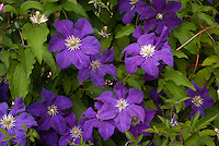 "Clematis 'Aotearoa', large flowered purple blooming summer climbing perennial vine. The Maori name ""Aotearoa"" means ""New Zealand"" which translates to ""land of the long white cloud""."