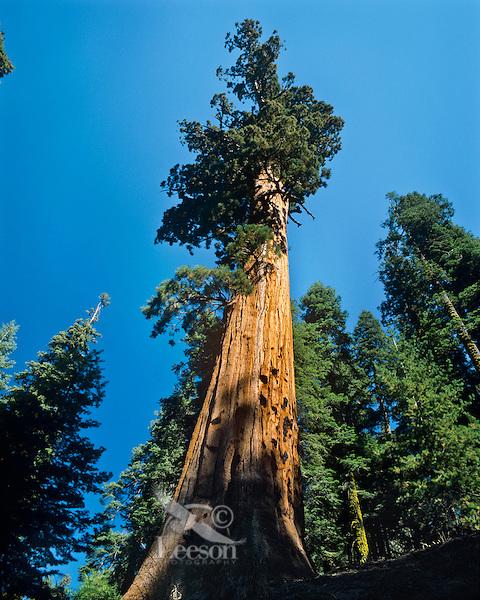 Giant sequioa trees (Sequoia gigantea), Sequoia N.P., CA