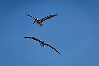 Two Brown pelicans in flight against a blue sky at the San Leandro Marina on San Francisco Bay.