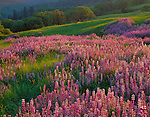 Redwood National Park, CA <br /> Evening sun sweeps a hillside meadow in the Bald Hills with riverbank lupine (Lupinus rivularis) and Oregon White Oak (Quercus garryana)