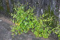 Kleinblütiges Knopfkraut, Kleinblütiges Franzosenkraut, Galinsoga parvifloragalinsoga, gallant soldier, quickweed, potato weed, guasca, mielcilla, piojito, le Galinsoge à petites fleurs