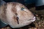 Grey Triggerfish swimming right medium shot