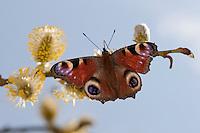 Tagpfauenauge, Tag-Pfauenauge, Blütenbesuch auf Salweide, saugt Nektar, Aglais io, Inachis io, Nymphalis io, peacock moth, peacock