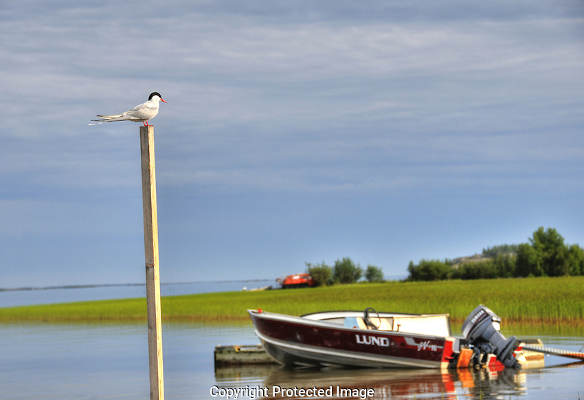 Arctic Tern stands guard in Yellowknife Bay.