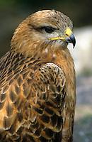 Adlerbussard, Adler-Bussard, Portrait, Buteo rufinus, long-legged buzzard