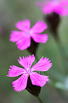 Carthusian Pink (Dianthus carthusianorum). Nordtirol, Austrian Alps, Austria, July.