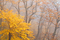 Autumn color and fog filled forest, Blue Ridge Parkway