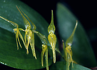 Pleurothallis phalangifera, yellow form, Phalanx Bearing Pleurothallis, collected in Colombia. Pleurothallid orchid species from Colombia, Ecuador, Peru, Venezuela