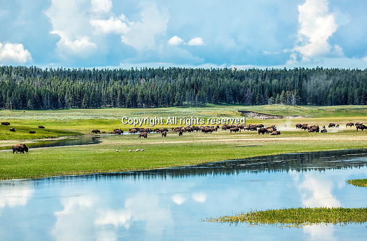 A herd of bison eat in a meadow in Yellowstone.