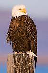 Bald Eagle (Haliaeetus leucocephalus), Lower Klamath National Wildlife Refuge, California