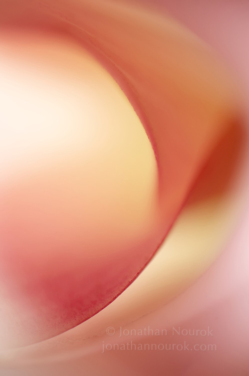close-up / macro photograph of a pink calla lily flower