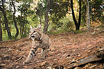 Bobcat (Lynx rufus californicus) in deciduous forest, Aptos, Monterey Bay, California