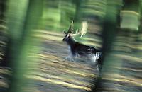 Damhirsch, Dam-Hirsch, Damwild, Männchen, Hirsch rennt durch den Wald, Bewegungsunschärfe, Dam-Wild, Cervus dama, Dama dama, fallow deer