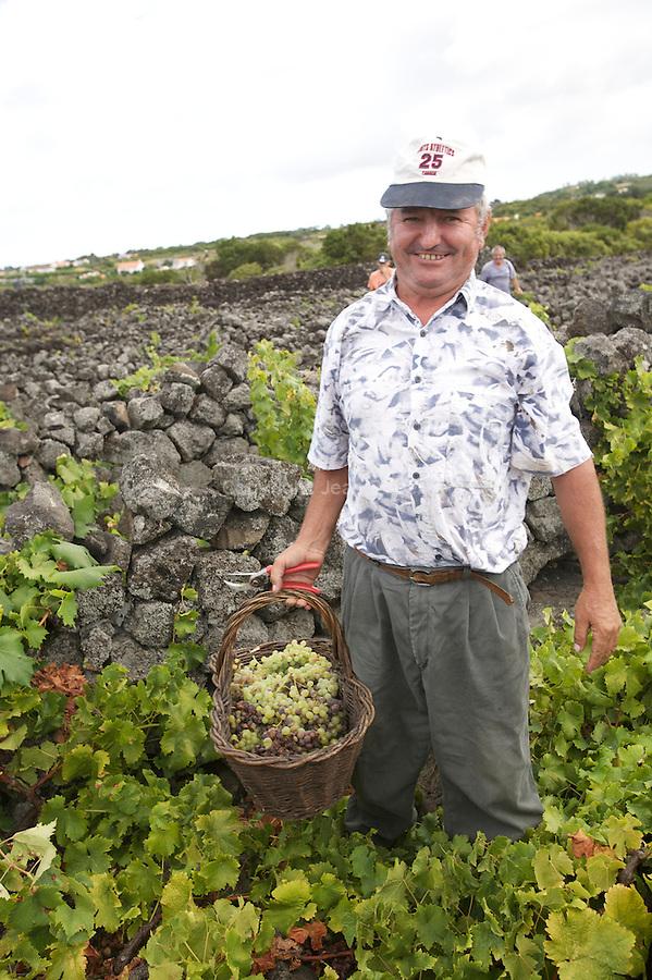 Men harvesting grapes amongst the labyrinth of black volcanic stones walls. Pico island