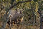 Black Rhinoceros (Diceros bicornis) female browsing in bushveld, Greater Makalali Private Game Reserve, South Africa