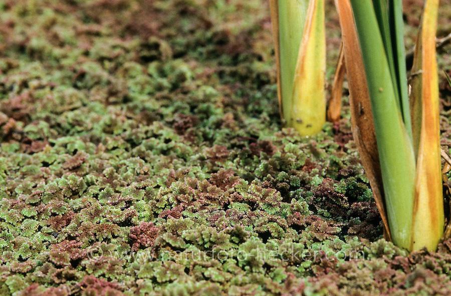 Großer Algenfarn, Feenmoos, Azolla filiculoides, Large Mosquito Fern